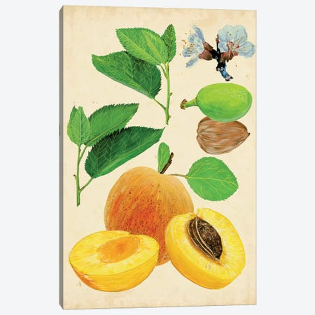 Apricot Study I Canvas Print #WNG155} by Melissa Wang Canvas Art Print