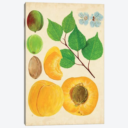 Apricot Study II Canvas Print #WNG156} by Melissa Wang Canvas Art Print