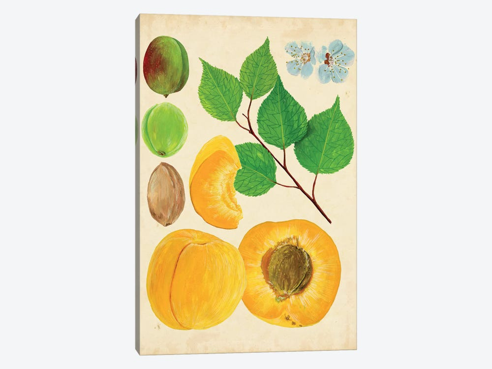 Apricot Study II by Melissa Wang 1-piece Canvas Print