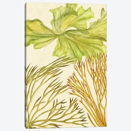 Vintage Seaweed Collection I Canvas Print #WNG272} by Melissa Wang Canvas Art Print