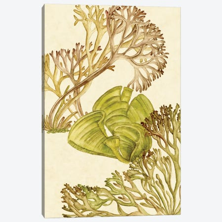 Vintage Seaweed Collection II Canvas Print #WNG273} by Melissa Wang Canvas Art Print
