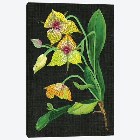 Telipogon Caulescens I Canvas Print #WNG340} by Melissa Wang Canvas Art Print