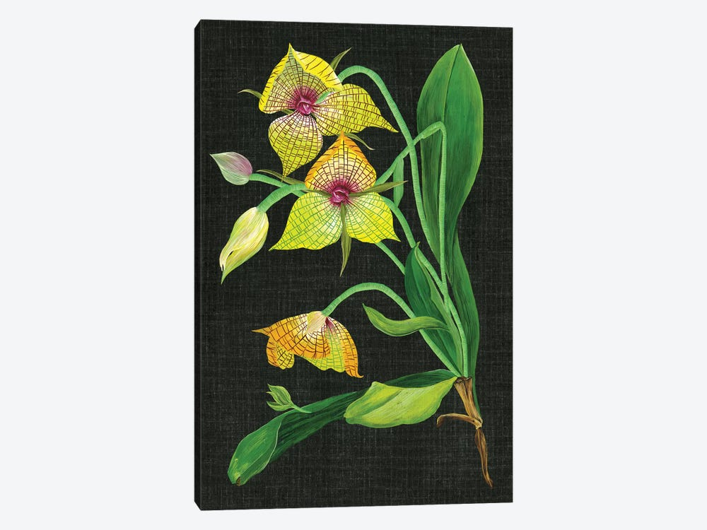 Telipogon Caulescens I by Melissa Wang 1-piece Art Print