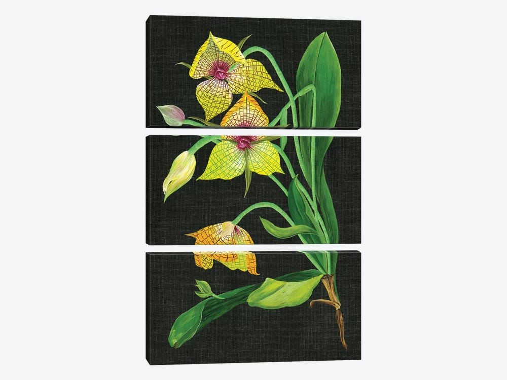 Telipogon Caulescens I by Melissa Wang 3-piece Canvas Print