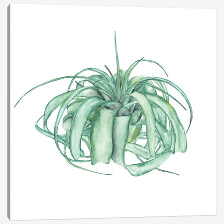 Air Plant Study I Canvas Print #WNG465} by Melissa Wang Art Print