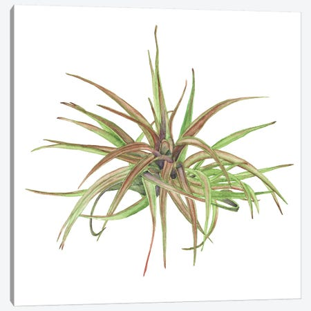 Air Plant Study II Canvas Print #WNG466} by Melissa Wang Art Print
