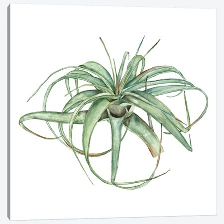 Air Plant Study III Canvas Print #WNG467} by Melissa Wang Canvas Print
