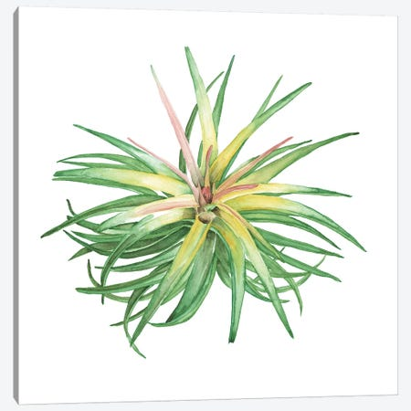 Air Plant Study IV Canvas Print #WNG468} by Melissa Wang Canvas Art