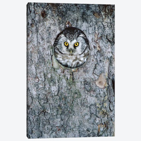 Boreal Owl In Nest Cavity, Sweden I Canvas Print #WOT10} by Konrad Wothe Canvas Artwork