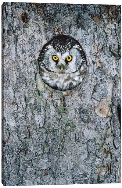 Boreal Owl In Nest Cavity, Sweden I Canvas Art Print