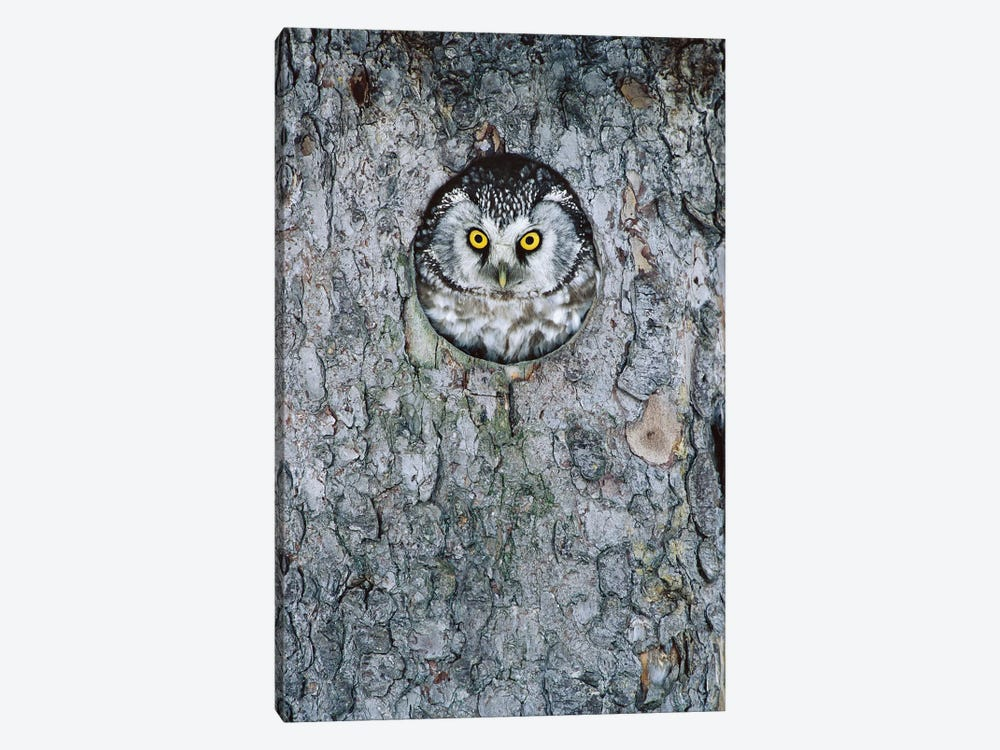 Boreal Owl In Nest Cavity, Sweden I by Konrad Wothe 1-piece Canvas Wall Art