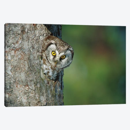 Boreal Owl In Nest Cavity, Sweden II Canvas Print #WOT11} by Konrad Wothe Canvas Artwork