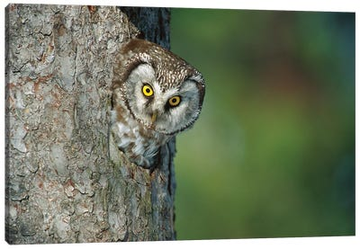 Boreal Owl In Nest Cavity, Sweden II Canvas Art Print