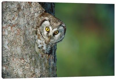Boreal Owl In Nest Cavity, Sweden II Canvas Art Print