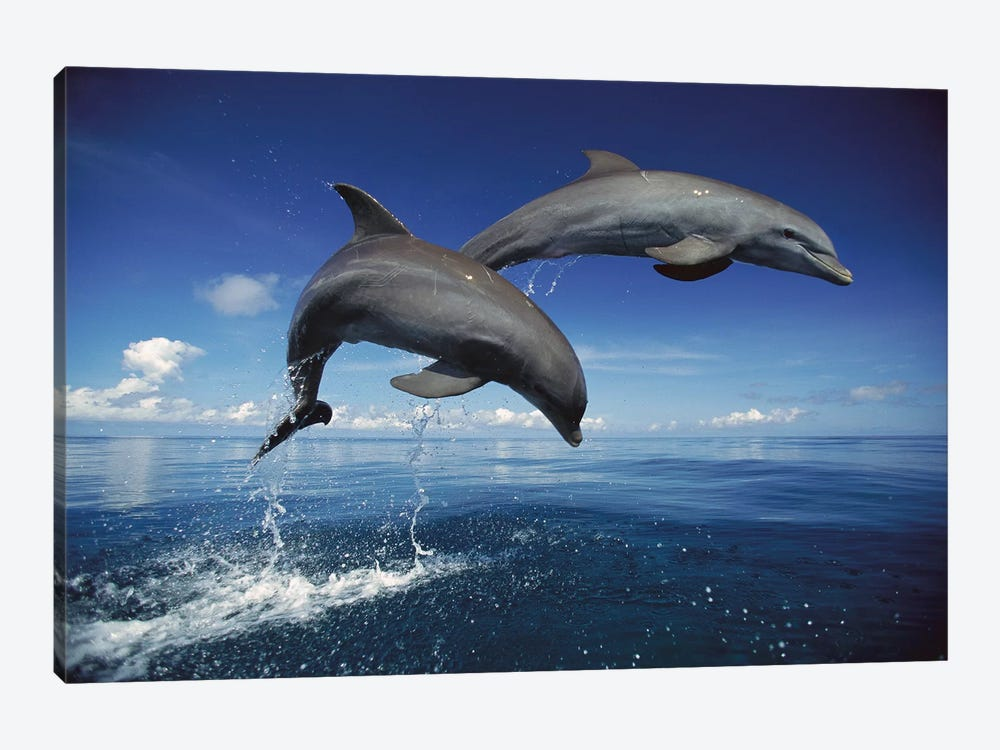 Bottlenose Dolphin Pair Jumping, Caribbean by Konrad Wothe 1-piece Canvas Artwork