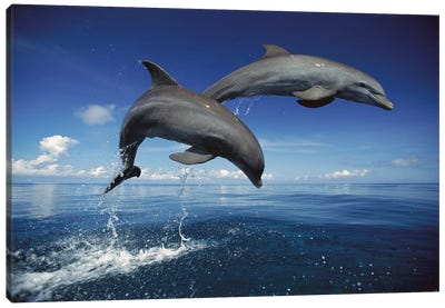 Bottlenose Dolphin Pair Jumping, Caribbean Canvas Art Print