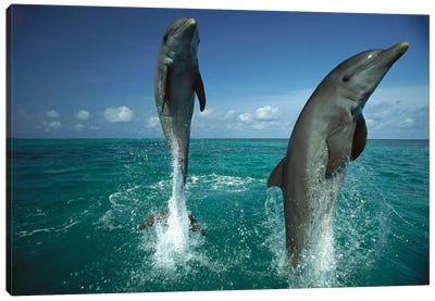 Bottlenose Dolphin Pair Leaping From Water, Caribbean Canvas Art Print