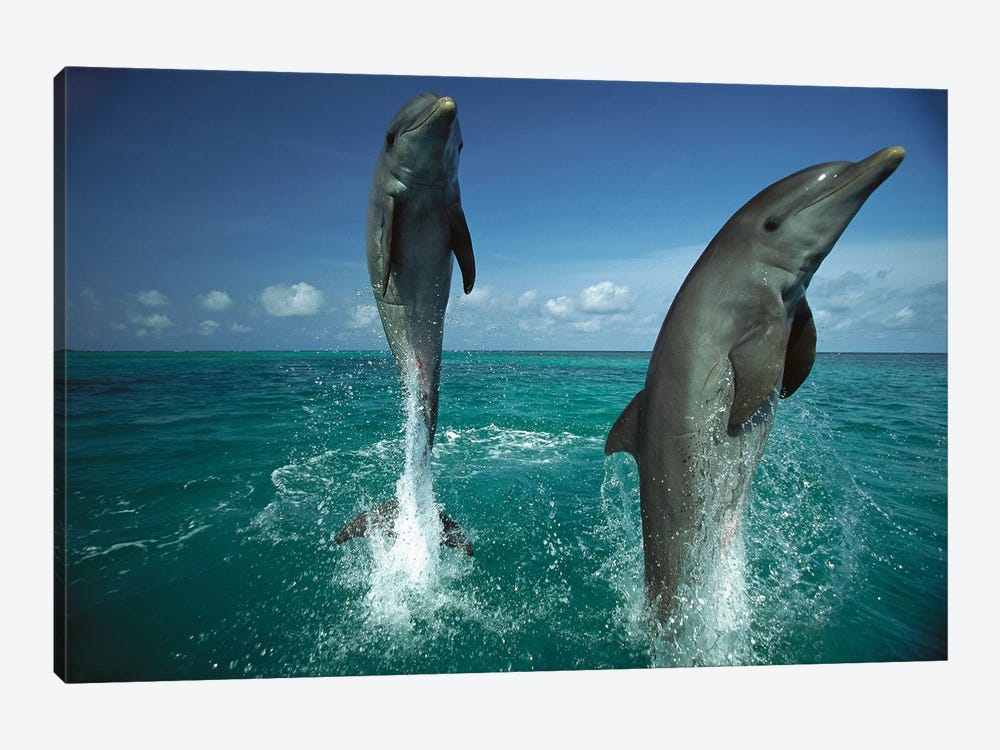 Bottlenose Dolphin Pair Leaping From Water, Caribbean by Konrad Wothe 1-piece Canvas Print