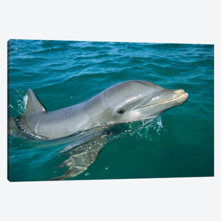 Bottlenose Dolphin Surfacing, Honduras Canvas Print #WOT14} by Konrad Wothe Canvas Art Print