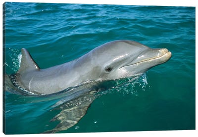 Bottlenose Dolphin Surfacing, Honduras Canvas Art Print