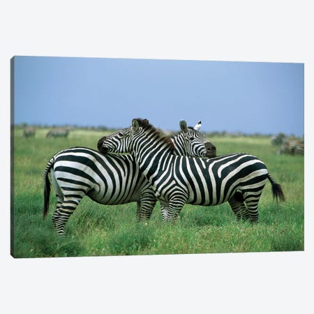 Burchell's Zebra Pair Resting, Serengeti National Park, Tanzania Canvas Print #WOT15} by Konrad Wothe Art Print