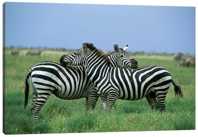Burchell's Zebra Pair Resting, Serengeti National Park, Tanzania Canvas Art Print