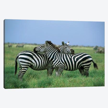 Burchell's Zebra Pair Resting, Serengeti National Park, Tanzania Canvas Print #WOT15} by Konrad Wothe Art Print