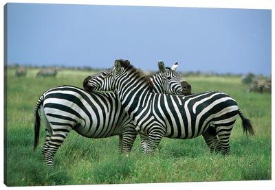 Burchell's Zebra Pair Resting, Serengeti National Park, Tanzania Canvas Art Print