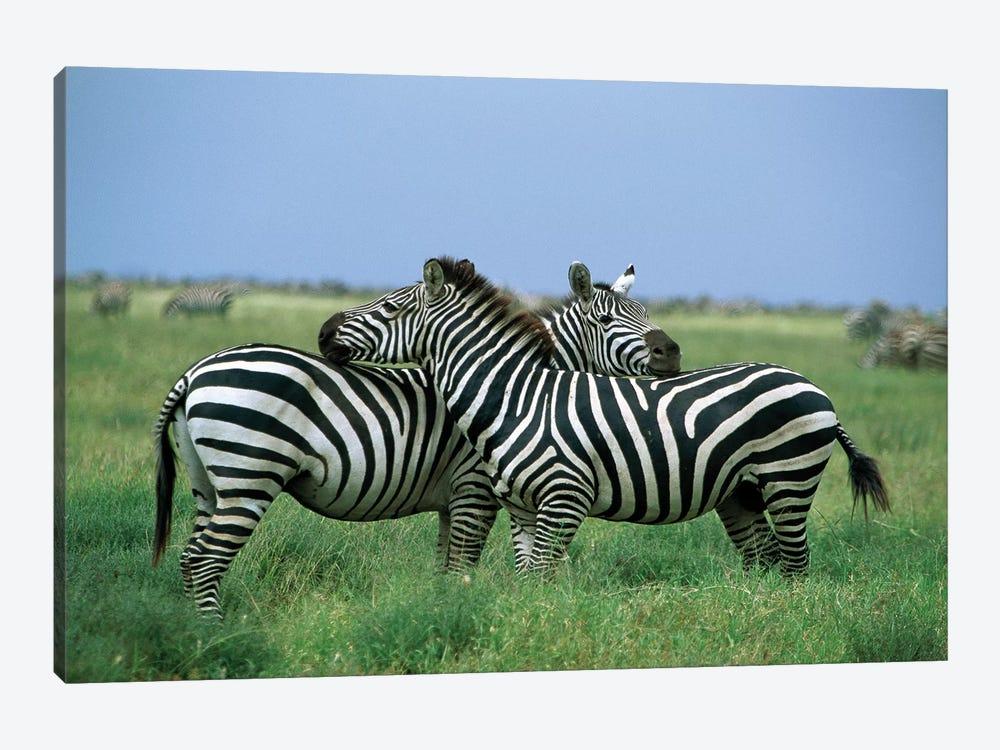 Burchell's Zebra Pair Resting, Serengeti National Park, Tanzania by Konrad Wothe 1-piece Canvas Art Print