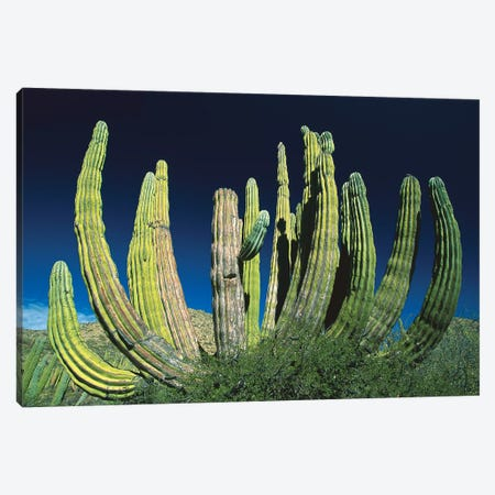 Cardon Cactus, Baja California, Mexico Canvas Print #WOT16} by Konrad Wothe Canvas Art Print