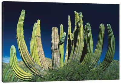 Cardon Cactus, Baja California, Mexico Canvas Art Print