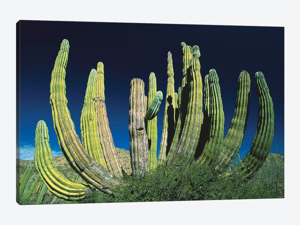 Cardon Cactus, Baja California, Mexico by Konrad Wothe 1-piece Canvas Art