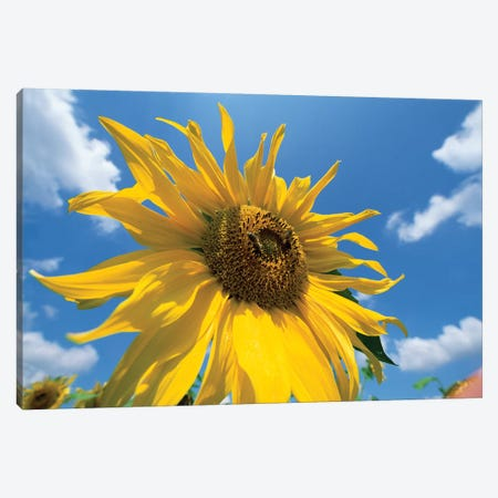 Common Sunflower With Blue Sky And Clouds I 3-Piece Canvas #WOT18} by Konrad Wothe Canvas Art