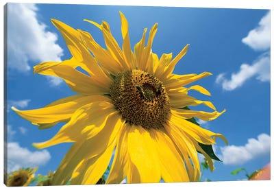 Common Sunflower With Blue Sky And Clouds I Canvas Art Print