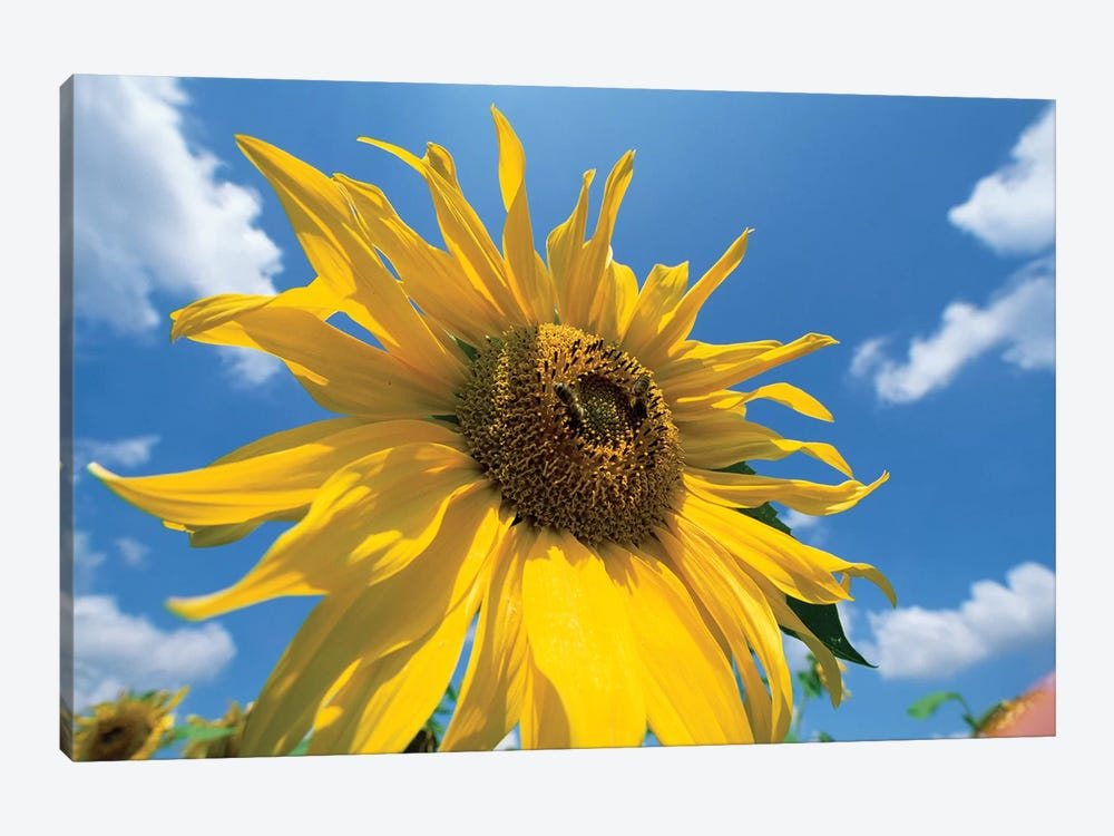 Common Sunflower With Blue Sky And Clouds I by Konrad Wothe 1-piece Canvas Art