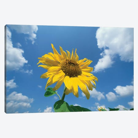 Common Sunflower With Blue Sky And Clouds II Canvas Print #WOT19} by Konrad Wothe Canvas Wall Art