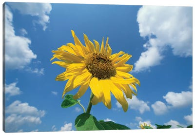 Common Sunflower With Blue Sky And Clouds II Canvas Art Print