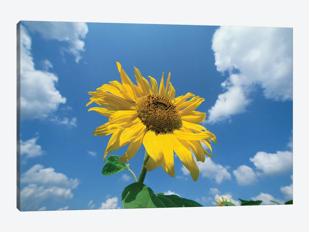 Common Sunflower With Blue Sky And Clouds II by Konrad Wothe 1-piece Art Print