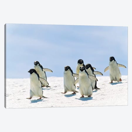 Adelie Penguin Group Running, Antarctica Canvas Print #WOT1} by Konrad Wothe Canvas Art Print