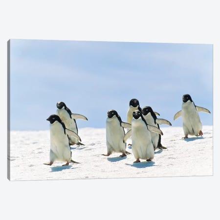 Adelie Penguin Group Running, Antarctica Canvas Print #WOT1} by Konrad Wothe Canvas Art Print