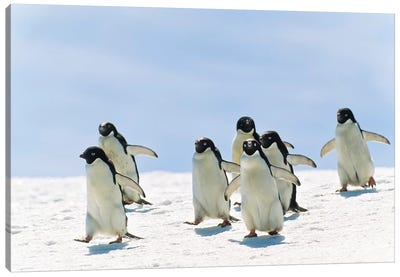 Adelie Penguin Group Running, Antarctica Canvas Art Print