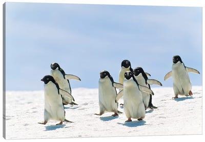 Adelie Penguin Group Running, Antarctica Canvas Art Print