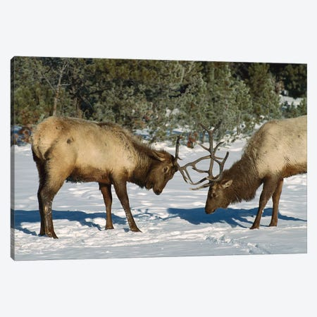 Elk Bulls Fighting, Yellowstone National Park, Wyoming Canvas Print #WOT22} by Konrad Wothe Canvas Art Print