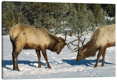 Elk Bulls Fighting, Yellowstone National Park, Wyoming Canvas Art Print