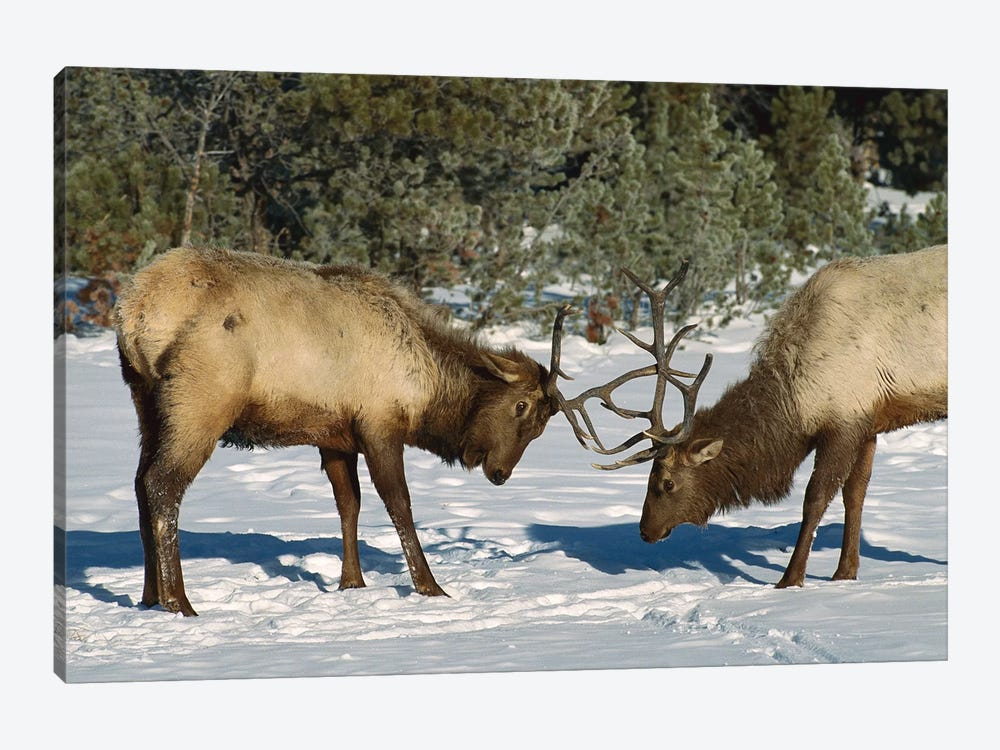 Elk Bulls Fighting, Yellowstone National Park, Wyoming by Konrad Wothe 1-piece Canvas Art Print