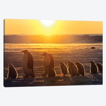 Emperor Penguin Adult Pair With Chicks Walking At Sunset, Weddell Sea, Antarctica Canvas Print #WOT23} by Konrad Wothe Canvas Art Print