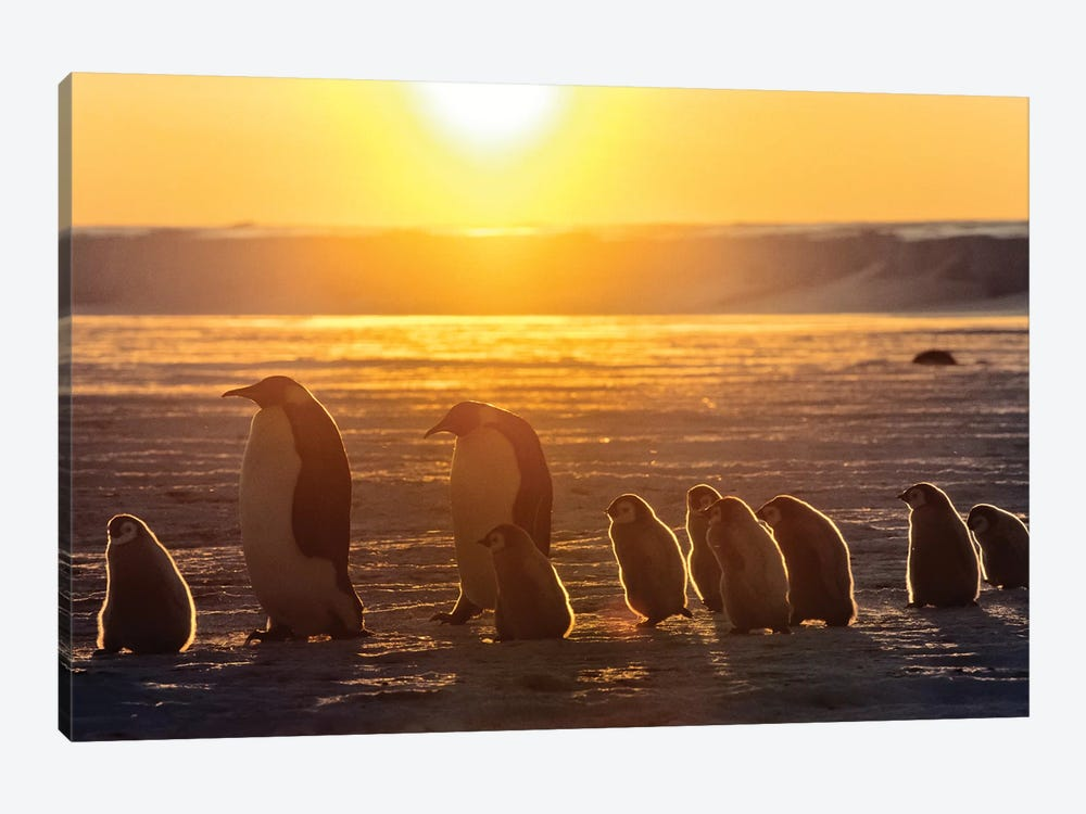 Emperor Penguin Adult Pair With Chicks Walking At Sunset, Weddell Sea, Antarctica by Konrad Wothe 1-piece Canvas Artwork