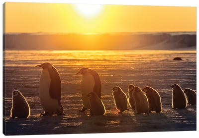 Emperor Penguin Adult Pair With Chicks Walking At Sunset, Weddell Sea, Antarctica Canvas Art Print