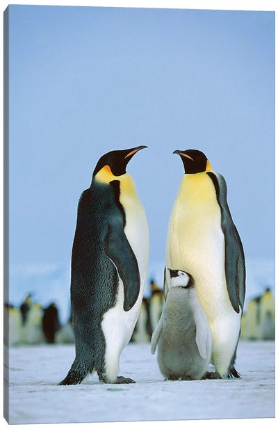 Emperor Penguin Family, Antarctica Canvas Art Print
