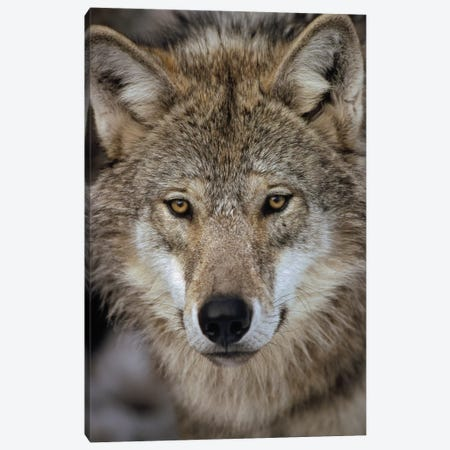 European Wolf Portrait, Sweden Canvas Print #WOT28} by Konrad Wothe Canvas Print